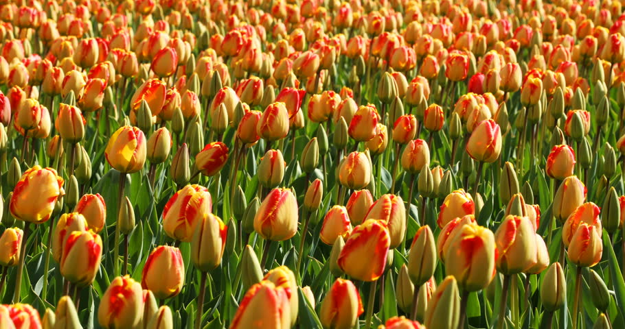 Spring colorful tulips waving in the wind on a Dutch farm