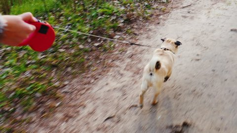 Walk your favorite pet - a dog of the Pug breed. Fun 3-axis stabilized pov video