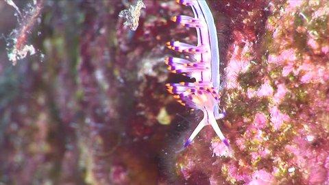 nudibranch flabellina nudi branch nudybranch underwater scene