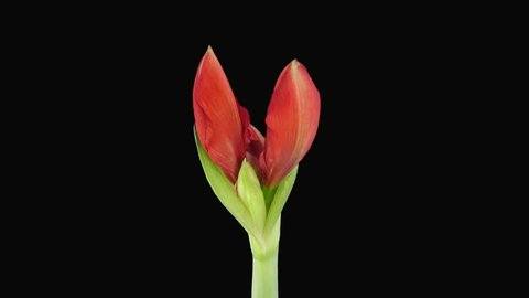 Time-lapse of opening Red Lion amaryllis Christmas flower 2x4 in RGB + ALPHA matte format isolated on black background