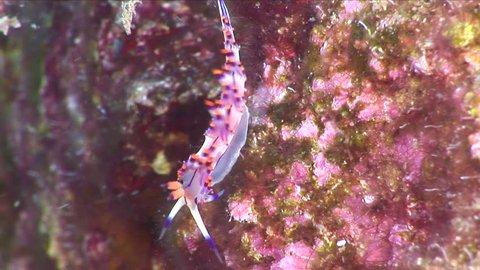 nudi branch flabellina nudibranch underwater