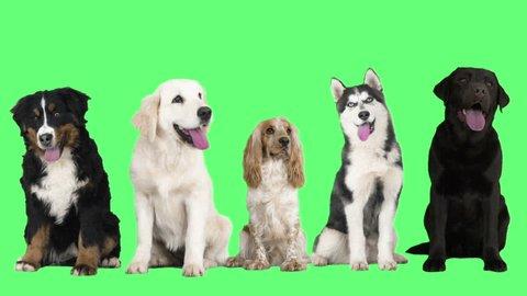 Dogs on the green screen, husky, golden retriever, brown labrador, English cocker spaniel, Bernese mountain dog