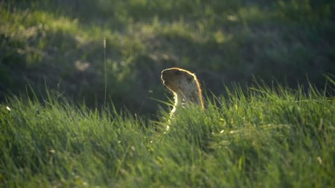 Groundhog on a background of green grass. Quickly hides in the grass.