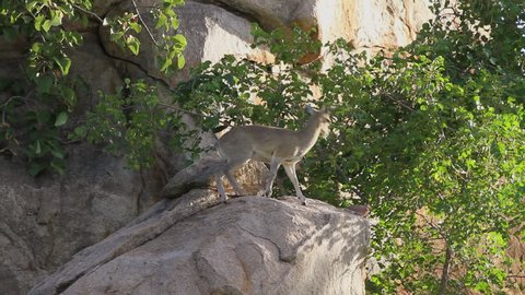 An African Antelope called a Klipspringer (Oreotragus oreotragus) jumping down rocks in the late afternoon. Note: this is not a captive animal in a zoo or theme park - this was filmed on location