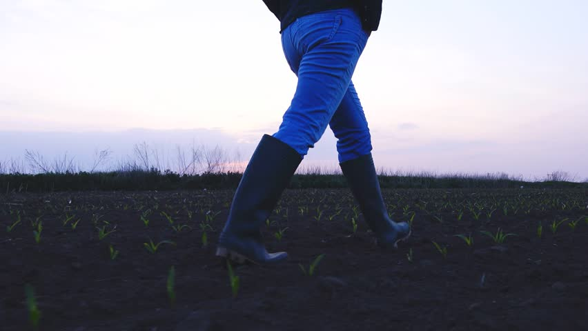 Female farmer in rubber boots walking through cultivated agricultural young green corn maize sprouts field in sunset, handheld camera tracking subject | Shutterstock HD Video #26469404