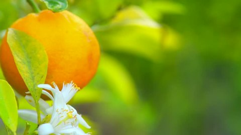 Ripe Orange Citrus fruits or tangerines hanging on a tree and blooming. Beautiful Healthy organic juicy oranges growing in Sunny Orchard. Orange Flowers. 4K UHD video 3840X2160