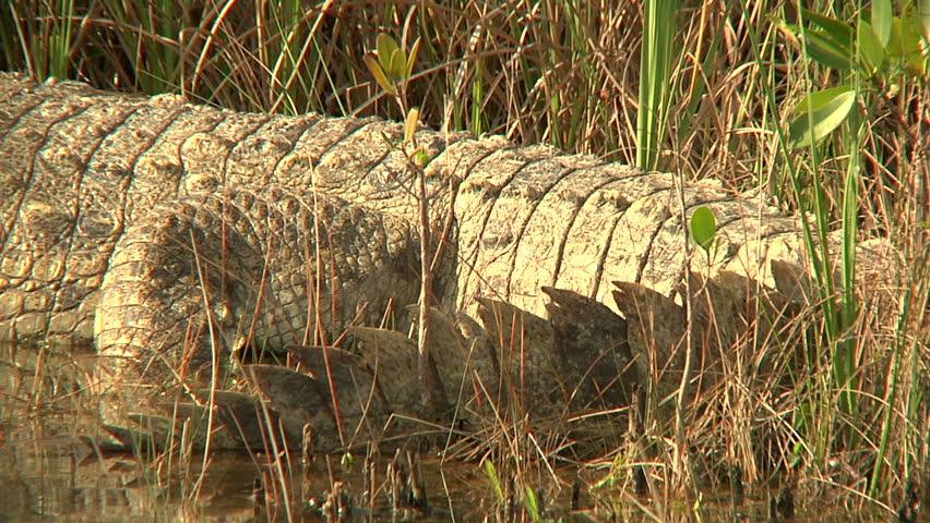 Header of American Crocodile