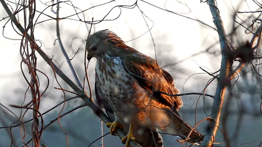 a Wonderful View on a Wild Big Brown and White Eagle Sitting on a Log in Forest With Its Swinging Feather Some Tree Branch in a Windy and Sunny Day in Autumn, Being Shot From Its Back