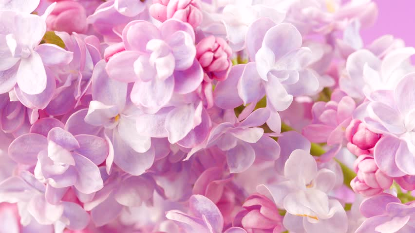 Lilac flowers bunch background. Beautiful opening violet Lilac flower Easter design closeup. Beauty fragrant tiny flowers open closeup. 4K UHD video 3840X2160 | Shutterstock HD Video #26592164