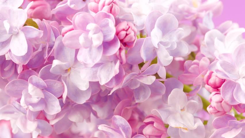 Vdeo Stock De Lilac Flowers Bunch Background Beautiful 100 Livre