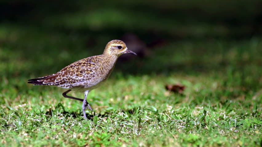 Header of American golden plover