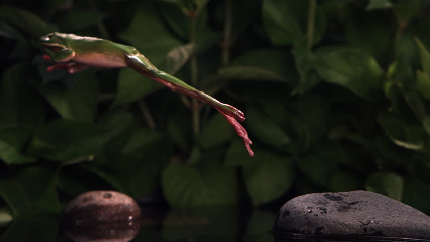 Tree frog making ultra-slow motion leap across a small pool #26630074