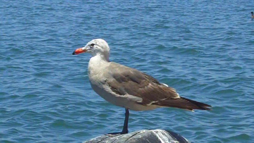 A close up shot of a one-legged seagull standing on a dock post with the blue