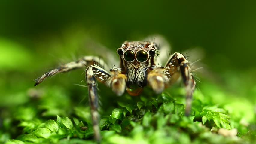 Extreme macro shot of jumping spider in wild a on leave. Selective focus. #26883697