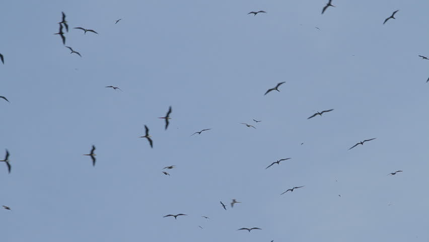 Flock of silhouetted Frigate bird flying, las Perlas archipelago, Panama, Central America