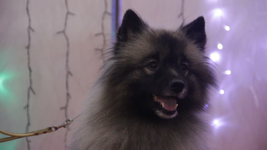 Cool German Spitz Canine Adorable Dog - 1  HD_292085  .resize(height:160)