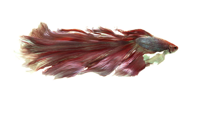 Half-moon fighting fish in pink. Siamese Fighting Fish. Conservation of the fighting fish species.