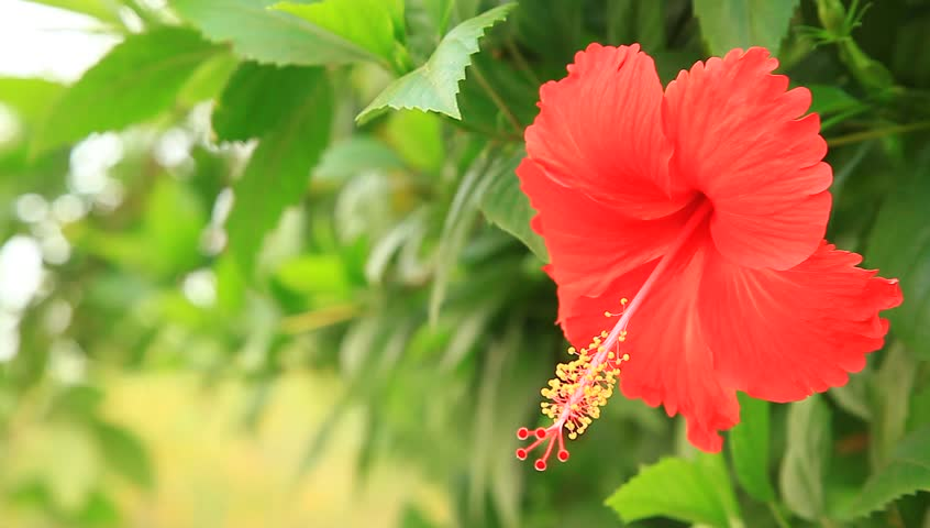 Tropical Red Hibiscus Flower In Tree