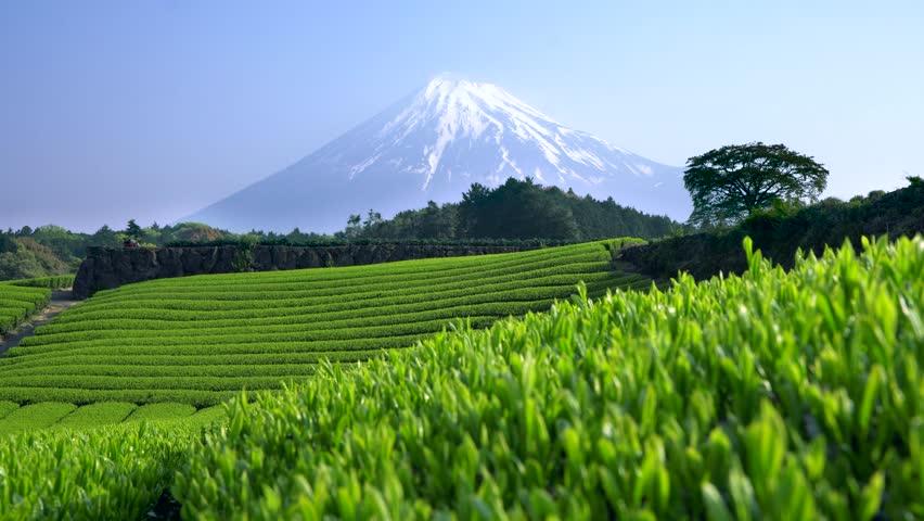 Growing green tea field with the background of Mt fuji tilt-up. Shizuoka Japan UHD 4K