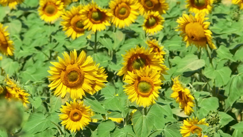 Large Yellow Flowers In Ox Eye High Sun Summer Needs Well Drained Soil Heliotropium Arborescens 9 4 X Tender Perennial Very Fragrant Heliotrope