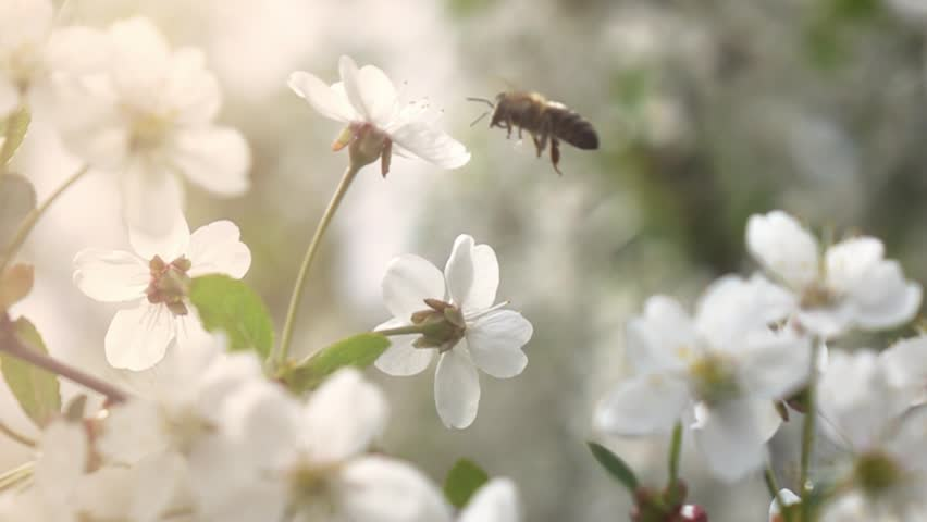 Bees fly to Blossoming Tree, slow motion #27192394