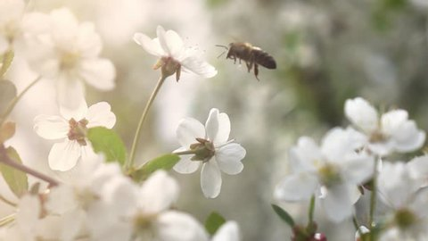 Bees fly to Blossoming Tree, slow motion