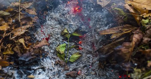 Timelapse video of a burning large green leaf rising from the ashes of a big pile of leaves and twigs in autumn in 4k 4096 pixels, 24fps
