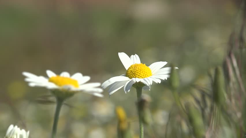 White flower Matricaria Chamomile on green background in garden swinging in wind macro | Shutterstock HD Video #27207334