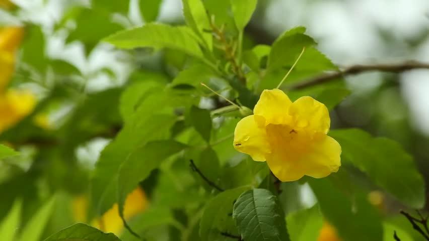 Stock video of yellow trumpet bush flower soft five 27229714 stock video of yellow trumpet bush flower soft five 27229714 shutterstock mightylinksfo