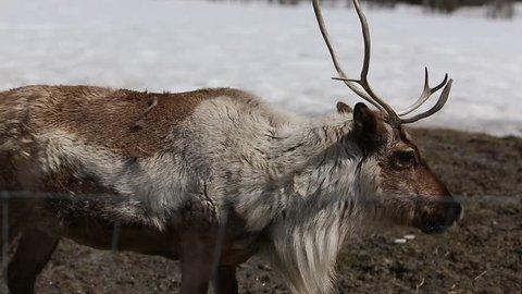 reindeer caribou behind