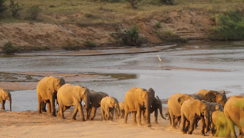 A shot of the herd of elephants on dry land after crossing the river