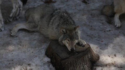 grey wolf laying down on tree