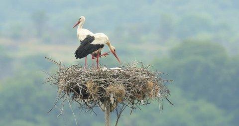 White stork, Ciconia ciconia, in the nest. Madzharovo, Eastern Rhodopes, Bulgaria. Wildlife Balkan. Bird behaviour scene from nature. Nesting animal in the habitat. Parents feeding young in nest home.