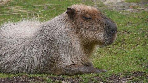 Capybara lying on grass