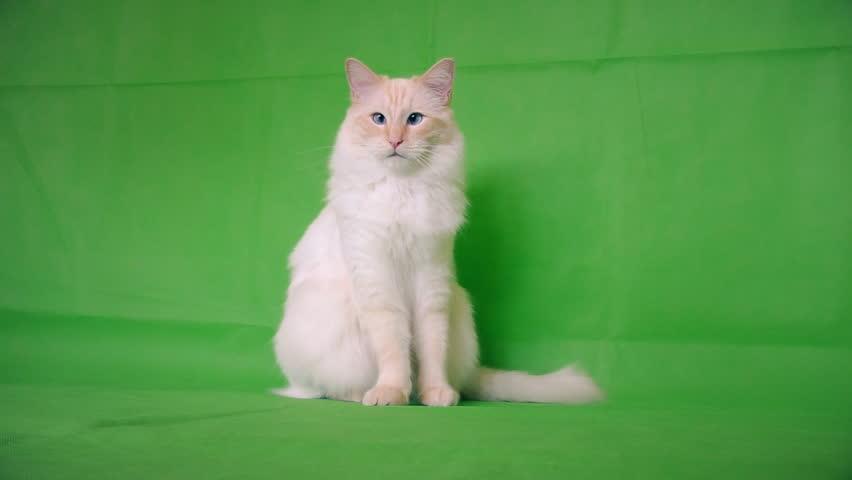 Fluffy cat of ragdoll breed.