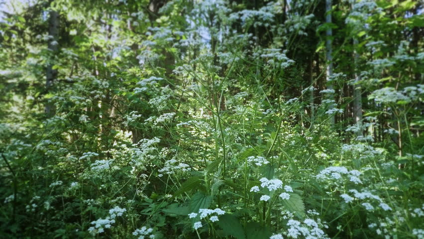 vertical shot through elderflowers revealing the sky
