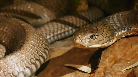 close up of the head of a king cobra, the world's longest venomous snake