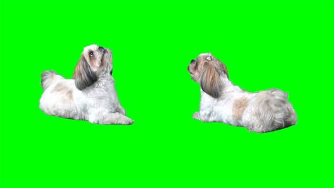 4K Dogs ShihTzu are Sitting and Lying Down Looking Around With Cute Face Green Screen Chroma Key Background Two Dogs Package Bundle Small Cutie Male and Female Doggie From Front and Rear Puppy