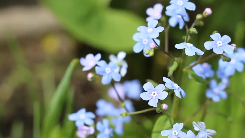 Small Blue Flowers In The Stock Footage Video 100 Royalty Free