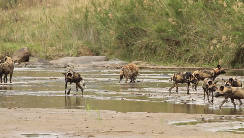 Two wild-dogs running in the river,a spotted hyena eating in the distance.