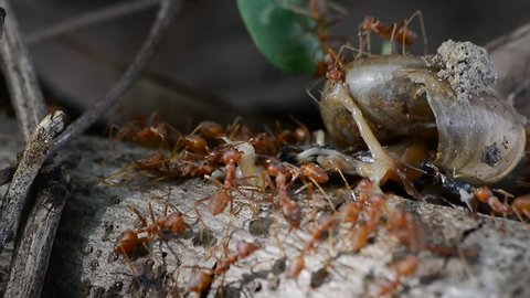 Swarm of fire ants attacking snail