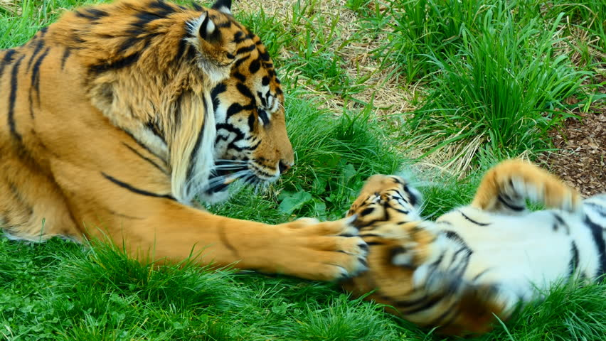 Beautiful Indonesian male tiger is playing gently with his cub on the grass