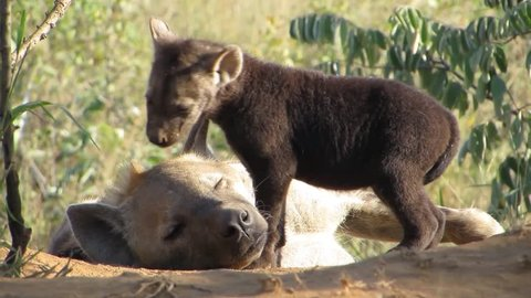 Hyena young baby cub naughty and cute chewing adult mother ear