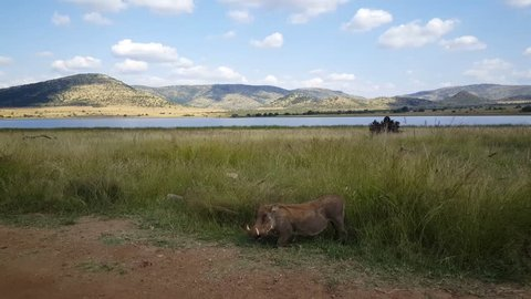 Warthog eating grass on the side of road in Pilanesberg National Park in South Africa