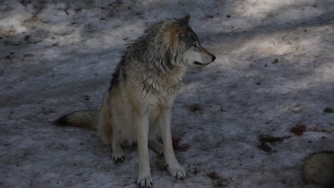 timber wolf seated then walks