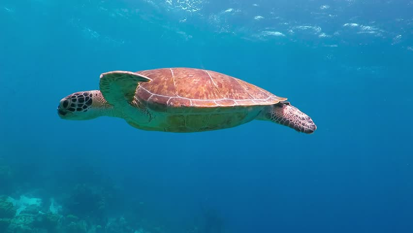 Swimming cute turtle in the blue ocean. Underwater scuba diving with sea turtle. Exotic island vacation with snorkeling. Wildlife on the tropical coral reef.