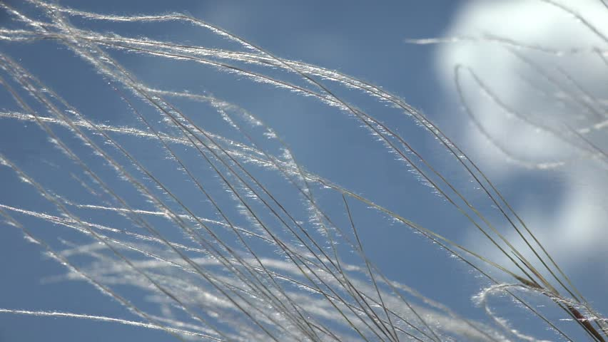 Prairies grass Stipa tenacissima swaying in summer wind against blue sky