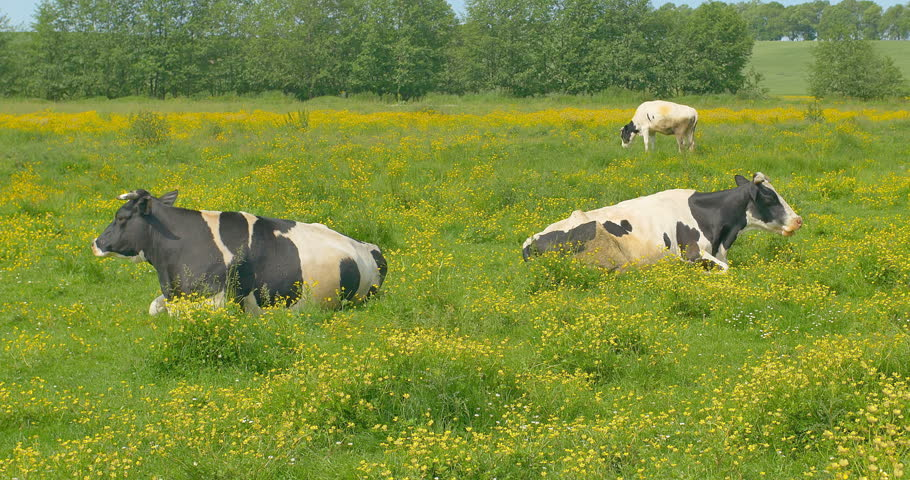 Cows are resting in a meadow. Cows and young heifers are relaxing quietly in the meadow on summer pasture.