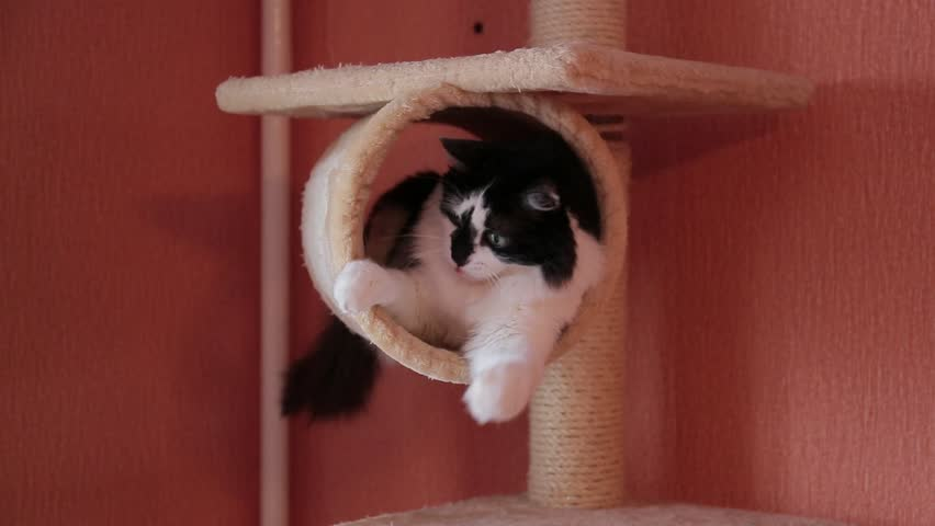 Black and white cute active cat playing with a toy in cats house. House for cats
