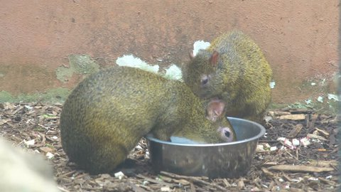 4K Two Capybaras Eating Food from Bowl Walking and Looking around in Nature Park High Resolution South American Mammal